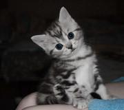 клубный котик породы Шотландская короткошерстная