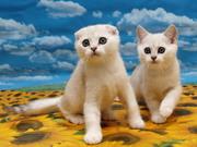 Продаются шотландские котята золотые и серебристые шиншиллы