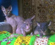 Продаются  котята донского сфинкса от породистых родителей
