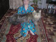 Продам сибирского кота