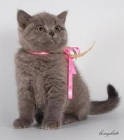 Продаю замечательных высокопородных котят шотландская вислоухая и шотл